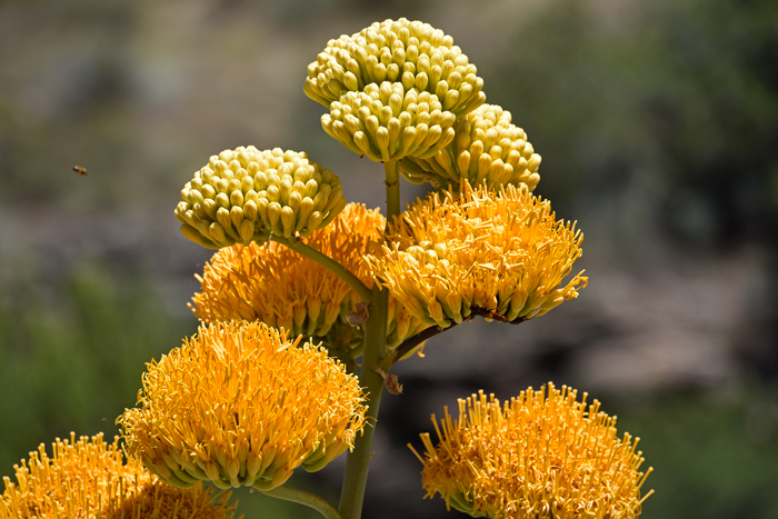 Agave chrysantha goldenflower century plant southwest desert flora goldenflower century plant is so named because of the beautiful golden yellow flowers in clusters of mightylinksfo