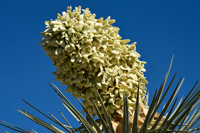Yucca brevifolia joshua tree southwest desert flora joshua trees blooms from late winter to mid spring with large densely crowded clusters of mightylinksfo