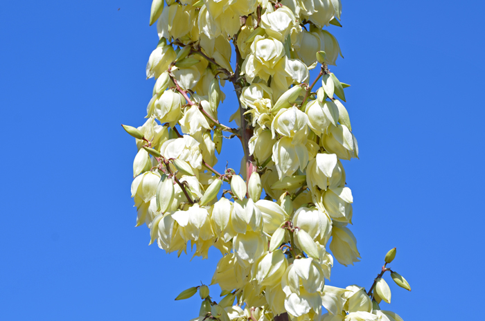 Yucca elata soaptree yucca southwest desert flora soaptree yucca has beautiful showy cream white pendent flowers the attractive clusters of bell mightylinksfo