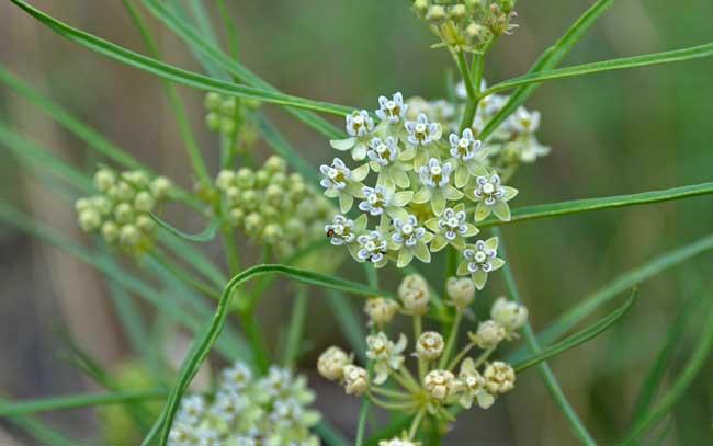 Asclepias subverticillata, Horsetail Milkweed, Southwest ...
