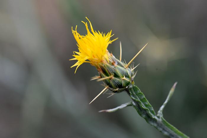 Centaurea solstitialis yellow star thistle southwest desert flora yellow star thistle has yellow discoid flowers atop large green bracts or phyllaries mightylinksfo