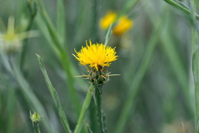 Centaurea solstitialis yellow star thistle southwest desert flora the yellow star thistle flowers have relatively long stems and the bracts have a few yellowish mightylinksfo