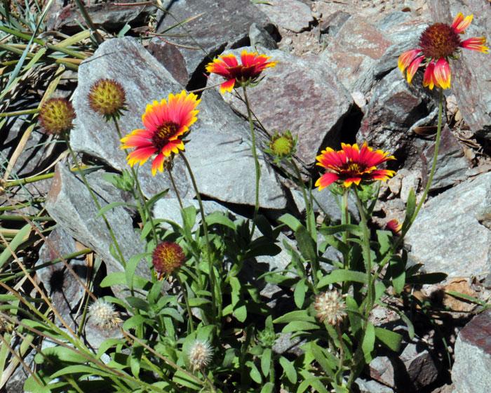 888 Firewheel Gaillardia Indian Blanket Wildflower Butterflies Bees Hummingbirds