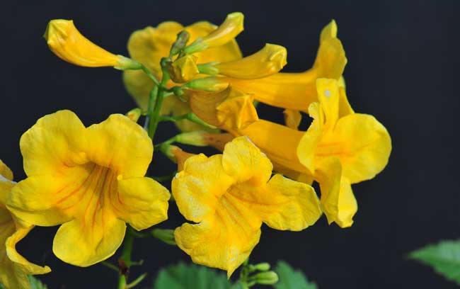 Tecoma Stans Yellow Trumpet Bush Southwest Desert Flora