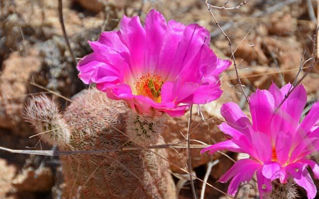 Echinocereus Rigidissimus Rainbow Hedgehog Cactus Southwest