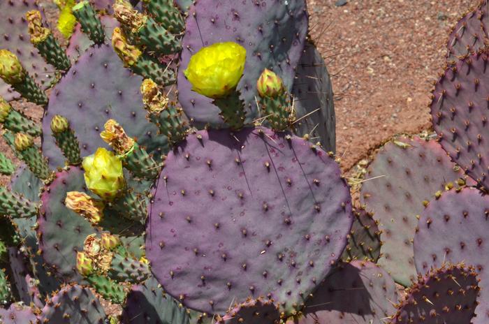 Opuntia Santa Rita Santa Rita Pricklypear Southwest Desert Flora