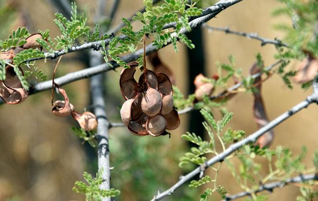 Acacia Greggii Senegalia Greggii Catclaw Acacia Southwest