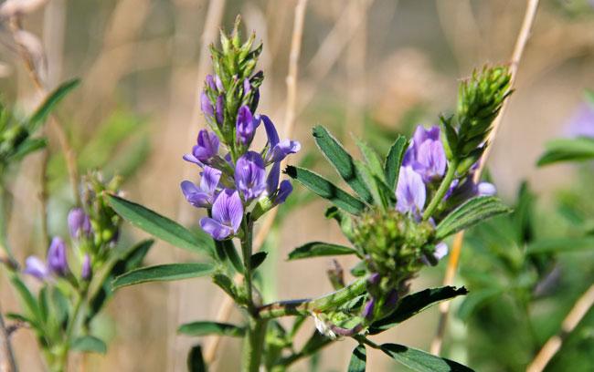 Spanish alfalfa southwest desert flora medicago sativa alfalfa medicago sativa alfalfa mightylinksfo