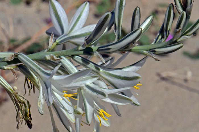 Details about  /Hesperocallis undulata or Desert Lily 10 seeds