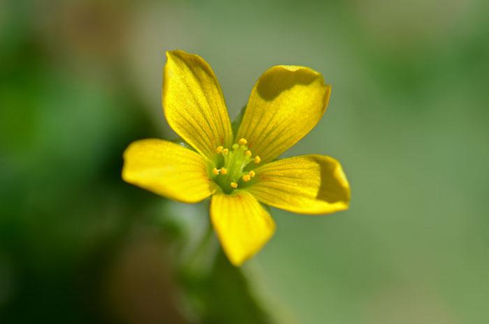 Oxalis stricta common yellow oxalis southwest desert flora oxalis stricta common yellow oxalis mightylinksfo