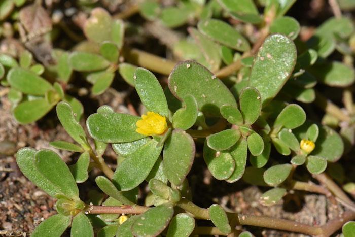 Portulacaceae, Purslane Family, Southwest Desert Flora