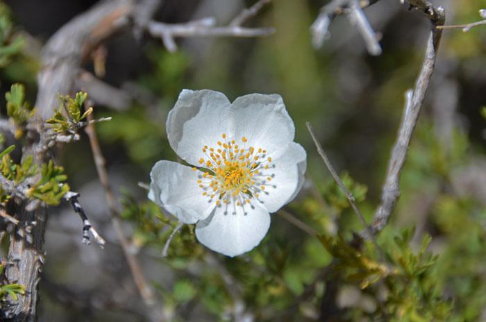 Fallugia Paradoxa Apache Plume Southwest Desert Flora