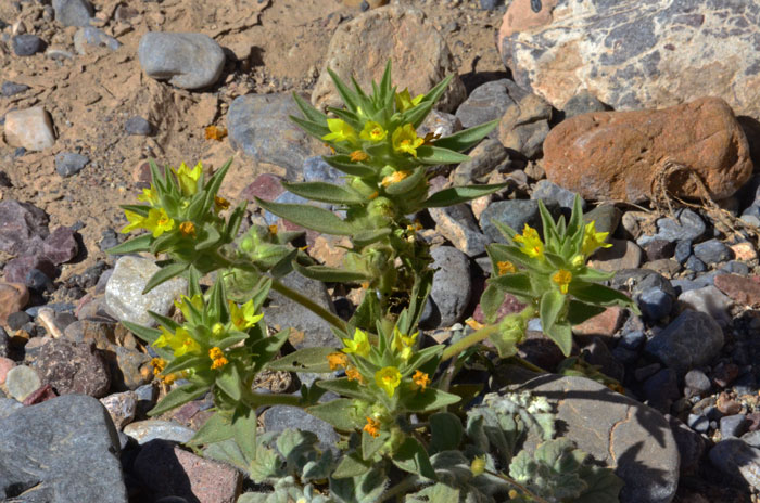 Mohavea breviflora golden desert snapdragon southwest desert flora golden desert snapdragon has small showy yellow flowers and green leaves plants are covered mightylinksfo