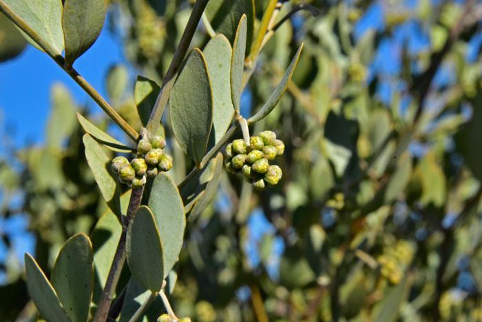 Simmondsia Chinensis Jojoba Southwest Desert Flora