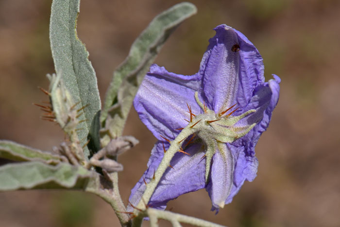 Solanum Elaeagnifolium Silverleaf Nightshade Southwest