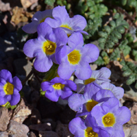 Pink purple lavender or blue southwest desert flora fremonts phacelia flowers pink purple blue with yellow center phacelia fremontii mightylinksfo